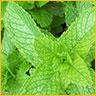 Essential Oils Energizing Peppermint
