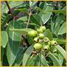 Essential Oils Invigorating Sandalwood