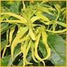 Essential Oils Sensuality Ylang Ylang